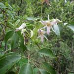 ムベ(花) 2021年4月4日 武庫山の森