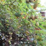 アブラチャン・実 桜の園・亦楽山荘 2019年10月1日
