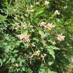 キハギ 2019年9月6日 桜の園・亦楽山荘