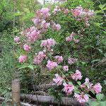 タニウツギ (1) 2016年5月1日 武庫山の森