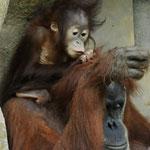 """Orang-Utan-Legende Dunja mit ihrem 5. Baby. Die 1973 in Berlin geborene Dunja lebte 33 Jahre im Zoo Leipzig. Am 27. Oktober 2009 ist sie gestorben. Nach Menschenjahren gerechnet hatte Dunja bereits 2007 das """"Rentenalter"""" erreicht."""