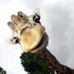 Giraffenpapa Max. Der im September 1995 geborene Bulle wurde per Hand aufgezogen und ist noch heute zutraulich und verschmust.