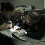Christina Schwind, Christa Bachmann und Klaus Eulenberger operieren einen Pelikan.