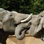 """Elefantenbulle Mekong rüsselt mit Saida. Juni 2006. Der Bulle kam 1984 als Staatsgeschenk der Volksrepublik Vietnam in den Zoo. 2006 wurde er Papa von Besucherliebling Voi Nam. Im November 2009 zog das """"Dickerchen"""" in den Prager Zoo um."""