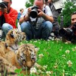 Tigerbabys genießen im Leipziger Zoo den Ruhm echter Popstars...