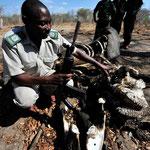 Ein Ränger erklärt uns anhand des Zustandes dieses Elefantenkadavers, wie die Elfenbein-Mafiosi das Tier getötet...