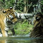 Patsch und Klatsch. Sommerfreuden in der 2003 eingeweihten Tigertaiga. Die 400 Quadratmeter große Anlage kostete 2,3 Millionen Euro.