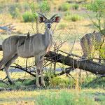 Ein Kudu-Pärchen auf Abendspaziergang.