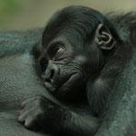 Gorilla-Dame Viringika brachte am 5. Apri 2008 dieses süße Baby zur Welt.