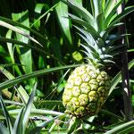 Eiene Ananas am Wegesrand - foto by chapoleratours