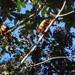 Brüllaffen- Familie im PNN Otun Quimbaya