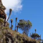 Frailejones - Nevado del Ruiz - foto by chapoleratours