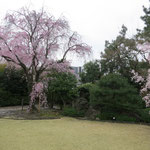 茶道会館 枝垂れ桜