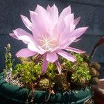 我が家のサボテンは初めて花をつけました。                ・サボテンの花にやさしき初夏の風(和良)