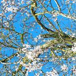 Mandelblüte Ende Dezember bis Februar