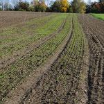 Vermehrung (vorne) und Zuchtgarten am 20. Oktober (im später gesäten Roggenfeld)