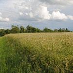 Dasypyrum-Feld (0,3 ha) am Lichthof, ca. 740 m üNN.