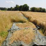 Rechts sieht man das niedergedrückte Roggenfeld. Auch die Dasypyrum-Parzellen waren davon halb bedeckt. Der Feldrand musste gescheitelt werden.