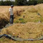 Eugen hat zwei Tage später den Parzellendrescher bedient: die trockene Ernte wurden dann gedroschen und mit möglichst wenig Stroh in Säcke gestopft.