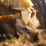 Spitzschlammschnecke (Lymnea stagnalis) Paarung-1: der männliche Partner entwickelt einen Stachel (= Penis; weiß).