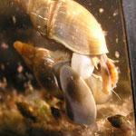 Spitzschlammschnecke (Lymnea stagnalis) Paarung-2: der Stachel wird in den Fuß des weiblichen Partners gerammt.