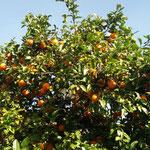 Mandarin-Bäumchen - allerdings sauer ohne Ende