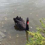 ein Trauerschwan
