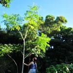 「奇跡の木」と呼ばれるモリンガ。たちまち大きくなります。上の方の葉を収穫するのが大変。