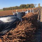 Stockage des plants en palox pour le transport