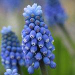 Vrolijk Voorjaar Blauwe Druif