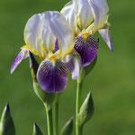 Losse dubbele kaart lekker lente Irissen