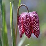 Vrolijk Voorjaar Kievitsbloem