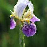Volop Voorjaar ansichtkaart Iris