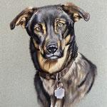 Hund, Pastellkreiden (Auftragsarbeit)