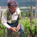 ébourgeonnage de la vigne pour alléger la charge de raisin