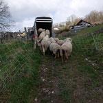 en fin d'hiver, les moutons quittent la vigne