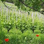 les coquelicots tutoient la vigne