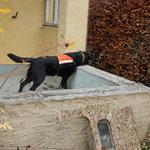 Spürhund Yuma nimmt Witterung auf....