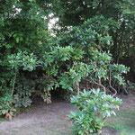 Hanggarten Rhododendron als filigrane Rarität