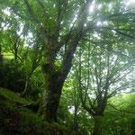 20210731折戸谷支流の栃巨木