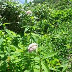 たくさん咲いているヨツバヒヨドリの花