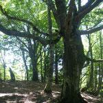 10. ブナ巨木が続く。