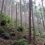 ④ よく手入れされた比叡山の檜林