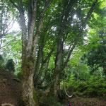 20210731折戸谷支流の栃巨木 (1)