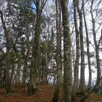 東尾根の百里ケ岳直下のブナ林。もう落葉していた。
