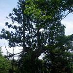 22.芦生杉も多かった。
