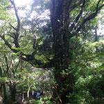 .登りの尾根の巨木、胸高周囲380cm