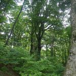 余呉南越前ウィンドファーム、国有林側のブナ林