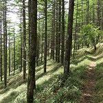 ⑧石丸峠からの下山道、気持ちの良い樹林帯のなだらかな道