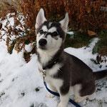 Siberian Husky Mailo